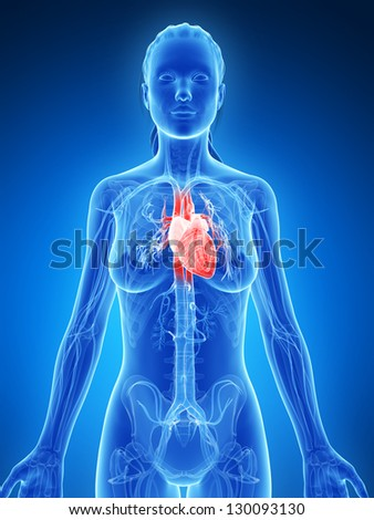 3d rendered illustration of the female heart - stock photo