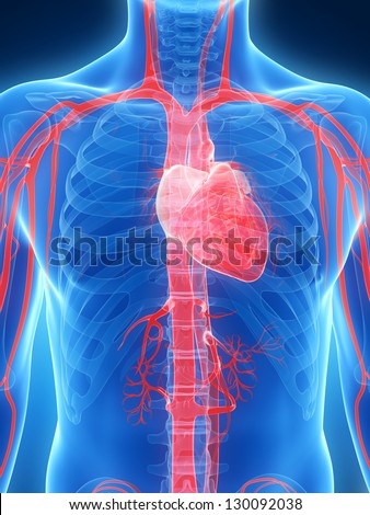 3d rendered illustration of the human heart - stock photo