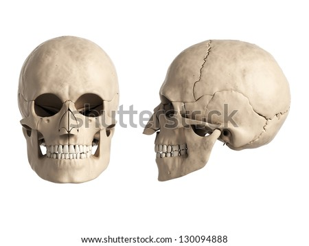 3d rendered illustration of the human skull - stock photo