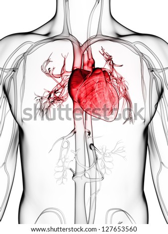 3d rendered illustration of the human vascular system - stock photo