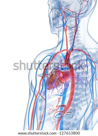 3 D Rendered Illustration Human Vascular System Stock Illustration ...