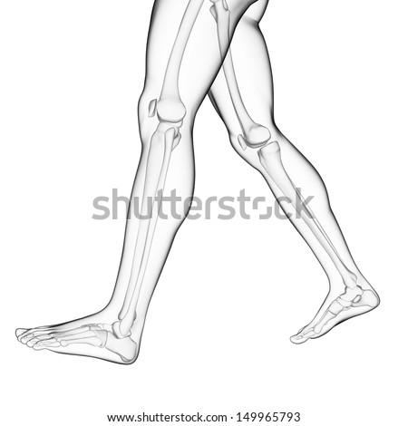 leg bone stock images, royalty-free images & vectors | shutterstock, Human Body