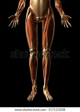 3d rendered illustration of the leg muscles