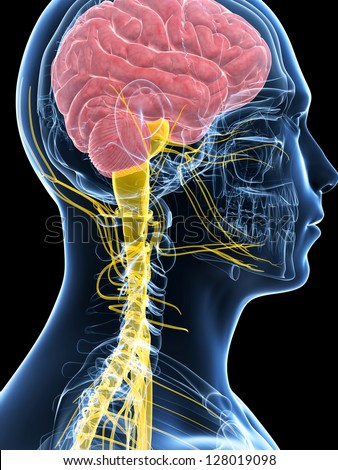 3d rendered illustration of the male nerve system - stock photo