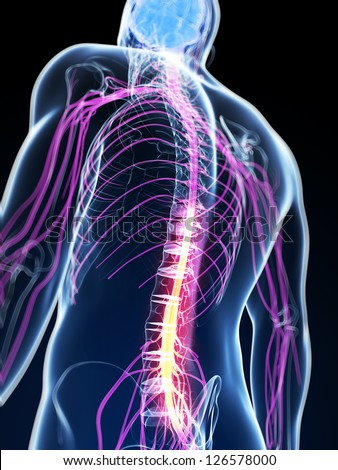 3d rendered illustration of the spinal cord - stock photo