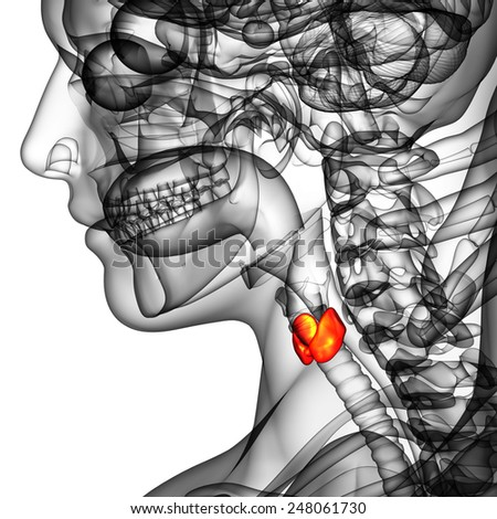 3d rendered illustration of the  thyroid gland - side view - stock photo