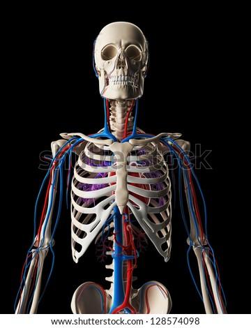 3d rendered illustration - vascular system - stock photo