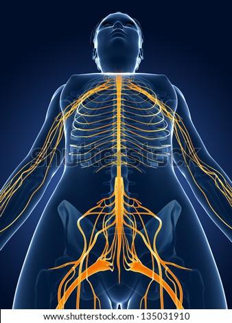 3d rendered medical illustration -female  nerve system - stock photo