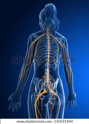 3d rendered medical illustration - female nerves - stock photo