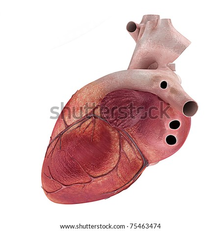 3d rendered medical illustration of a human heart - stock photo
