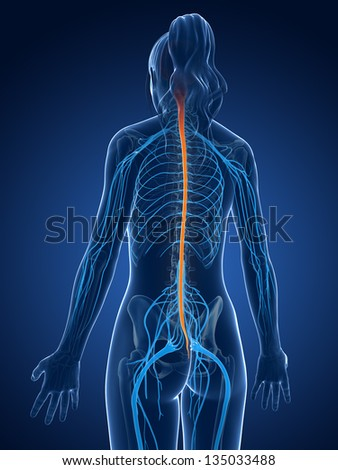 3d rendered medical illustration - spinal cord - stock photo