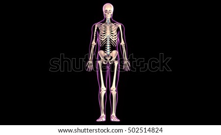 3d rendered medically accurate illustration of  human skeleton anatomy