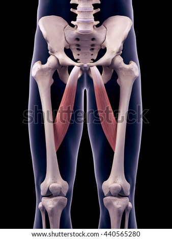 3d rendered, medically accurate illustration of the adductor longus