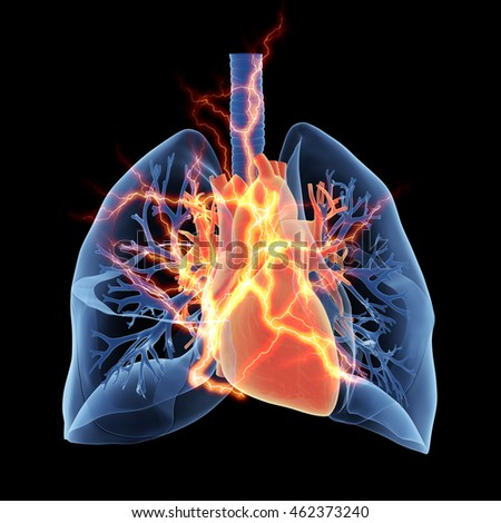 3d rendered medically accurate illustration of the lungs and heart