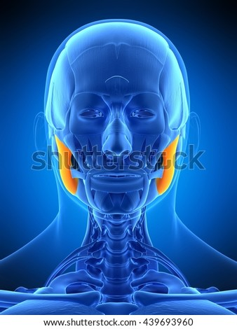 3d rendered, medically accurate illustration of the masseter superior