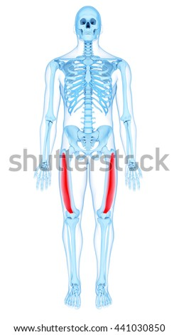 3d rendered, medically accurate illustration of the vastus lateralis