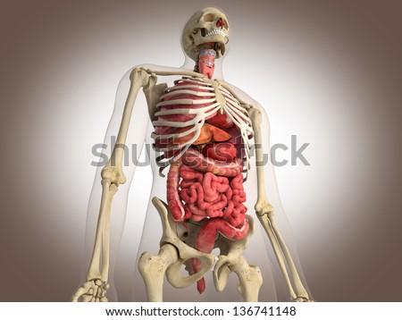 3D Rendering Intestinal internal organ - stock photo