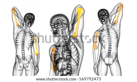 humerus bone stock images, royalty-free images & vectors, Human Body