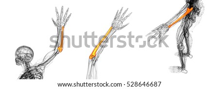 ulna stock images, royalty-free images & vectors | shutterstock, Human Body