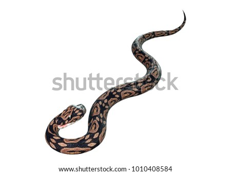 3D rendering of a ball python snake isolated on white background