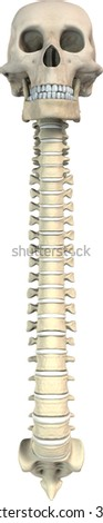3d skull and spine - front view -with perspective - stock photo