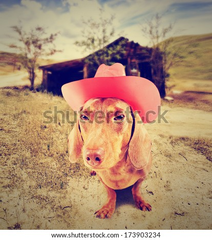 dachshund dog cowboy in front of a barn  - stock photo