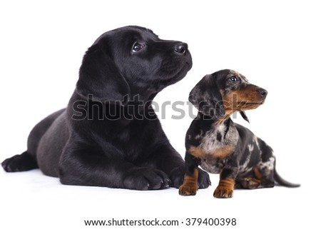 Dachshund miniature and labrador puppies