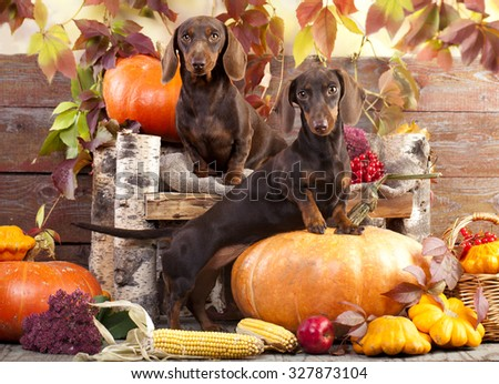 dachshund rabbit and pumpkin