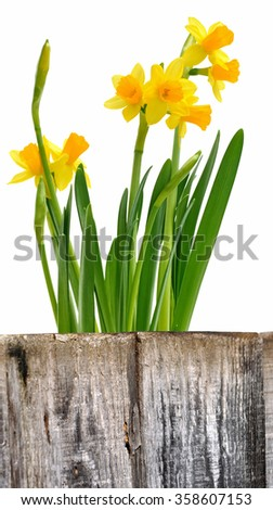 daffodils on white background behind wooden border
