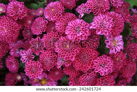 Dahlia flowers,  Abstract background of Dahlia flowers, beautiful Dahlia flowers with water droplets - stock photo