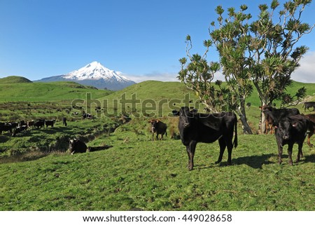 Dairy cows in green field with mount Taranaki in background, New Zealand                          - stock photo