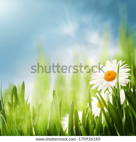 Daisy flowers on the meadow, seasonal backgrounds for your design - stock photo
