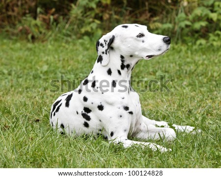 Dalmation Dog Lying In The Grass - stock photo