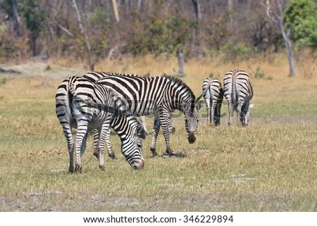 Damara zebra,Equus burchelli antiquorum,national park Moremi, Botswana