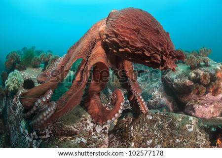 Dance of Giant octopus, underwater shoot, deep - 15 meters, Japan sea, Russia, october - stock photo