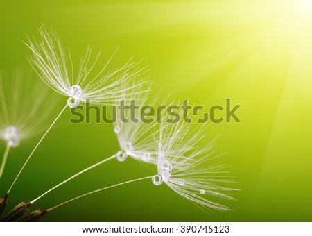 dandelion flower on blurred background