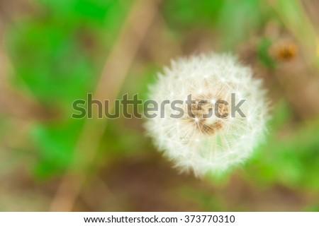 Dandelion flower, seed head (Taraxacum officinale ) in the field - stock photo