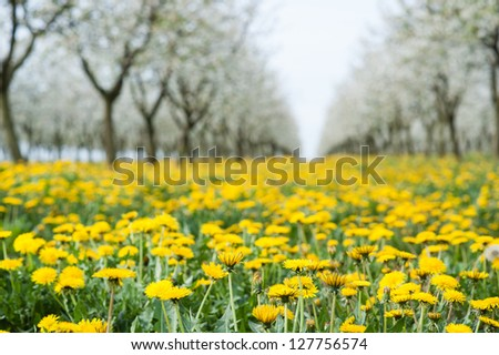 Dandelion in orchard over spring - stock photo