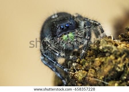 daring jumping spider or bold jumping spider phidippus audax