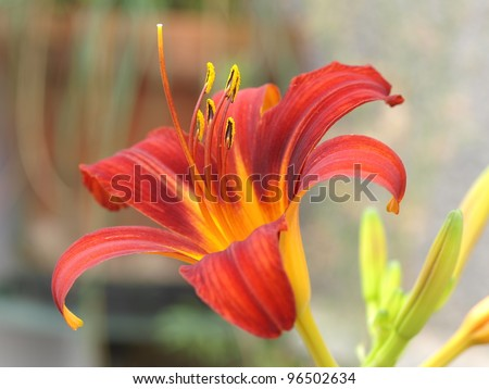 Day lily, Hemerocallis - stock photo