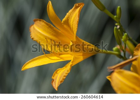 daylily is a flowering plant in the genus Hemerocallis  - stock photo