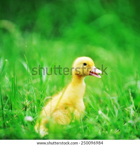 4 days old  duckling exploring green grass - stock photo