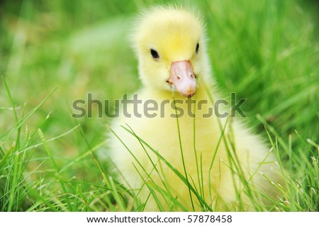 4 days old  duckling exploring green grass
