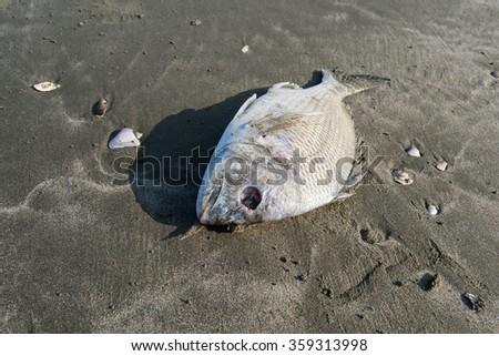 Dead fish on a seashore - stock photo