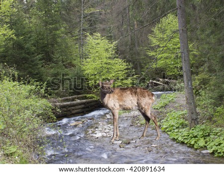 Deer near mountain river  at the Forest landscape.