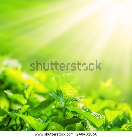 Defocus view for background and copy space. fresh new green leaves glowing in sunlight. - stock photo