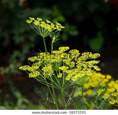 Dill (Anethum graveolens) is a short-living perennial Herb. The seeds are used as a Spice, and the Fresh Leaves, and dried Leaves, are used as Herbs and Herbal Medicine. - stock photo