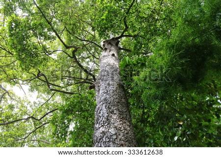 Dipterocapus tree, big tree in deep forest , Thailand - stock photo