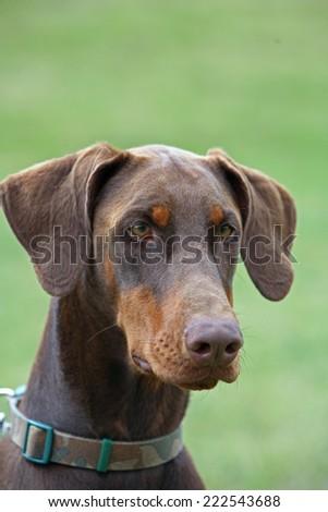 Dobermann Puppy Dog K9 cute - stock photo
