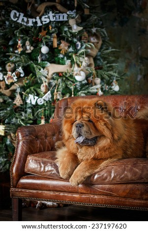 dog breed  chow chow, red dog on a retro studio background, christmas